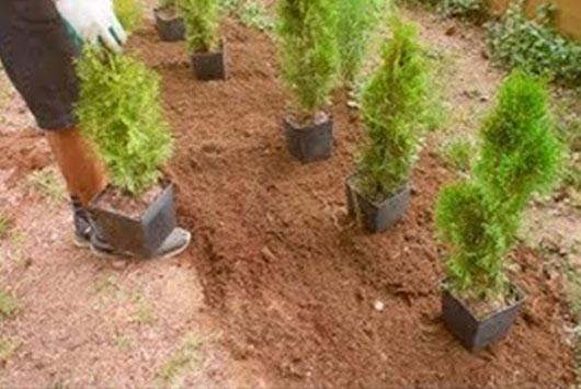 sadzenie tuj